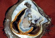 Pearl Knowledge | Raw Pearls